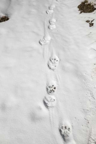 Snow Leopard tracks